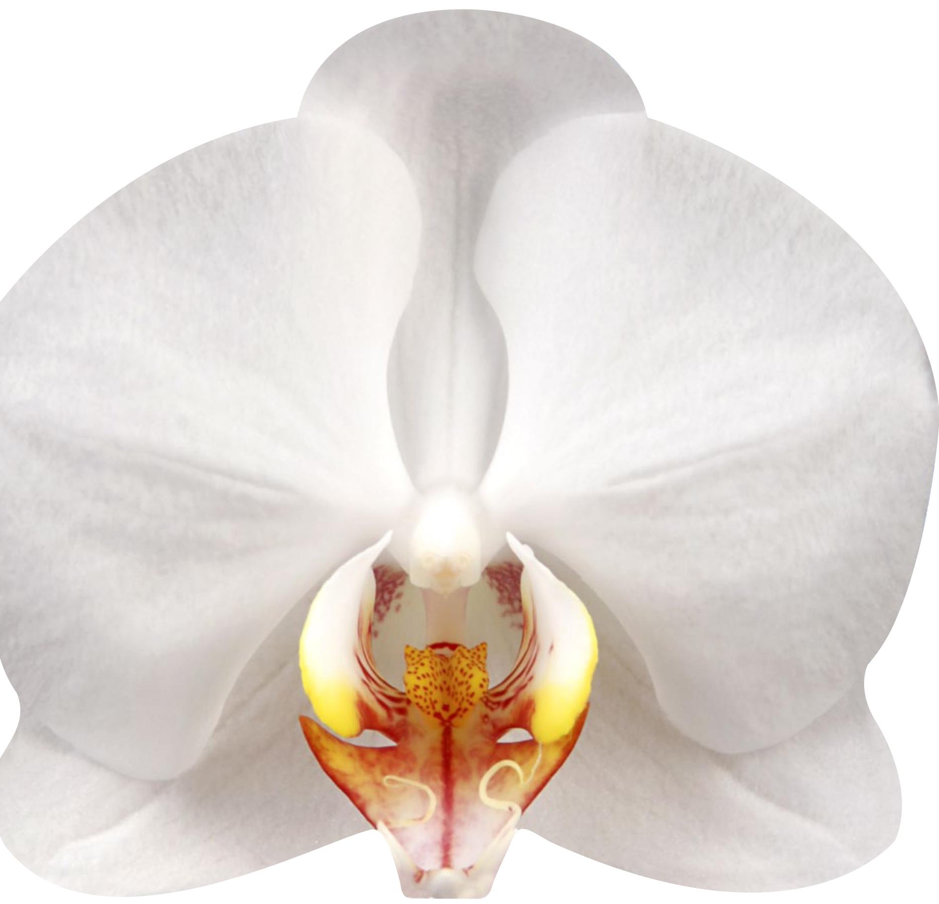 ORCHIDEES (LIVRE FORME)