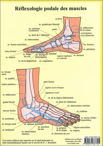 REFLEXOLOGIE PODALE DES MUSCLES